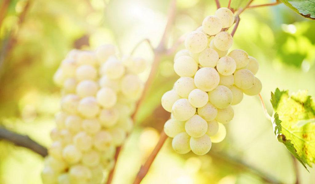 Особенности белого грузинского вина Твиши