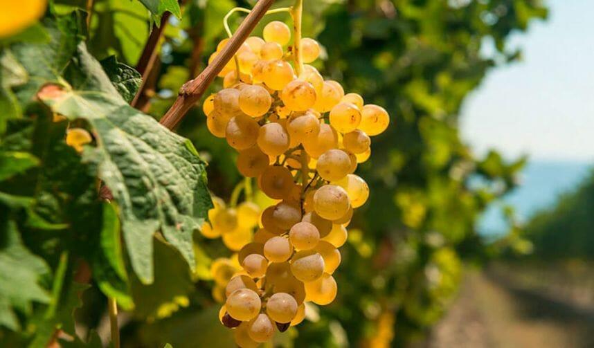 виноград Мцване