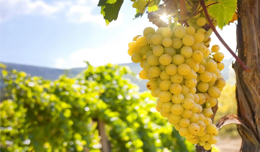 Мцване - один из ценнейших белых сортов винограда