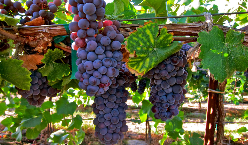 Киндзмараули - ароматный букет для ценителей благородных вин