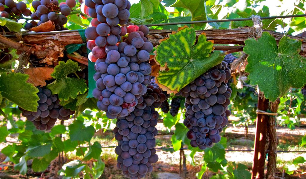 Сорт винограда из какого делают вино киндзмараули