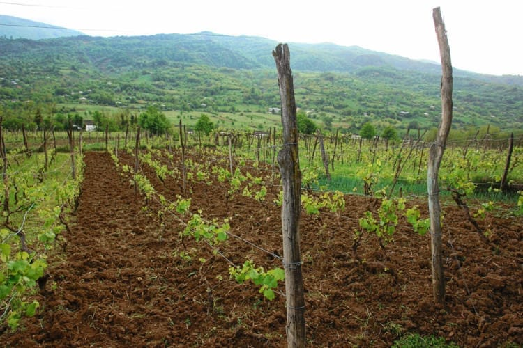 Особенности красного сорта винограда Муджуретули