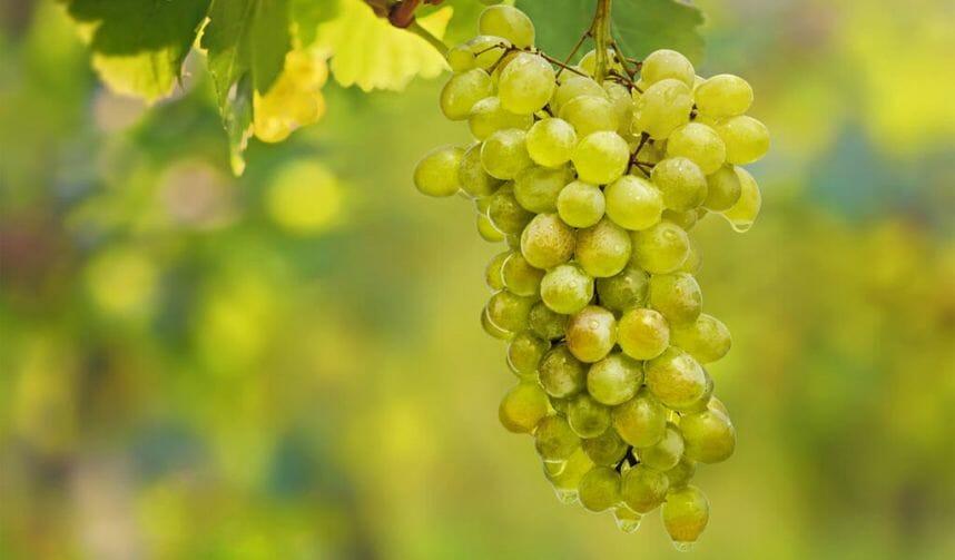 Цицка виноград