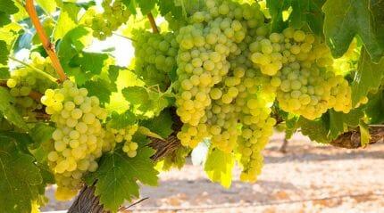 Цицка - высококачественный сорт белого винного винограда