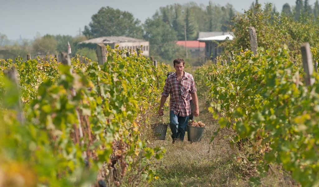 Цоликаури - грузинский белый сорт винограда