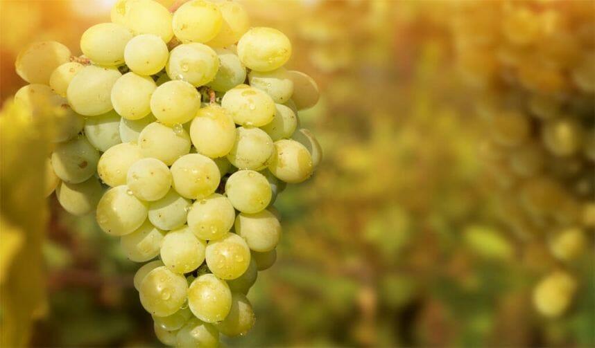 цоликаури виноград