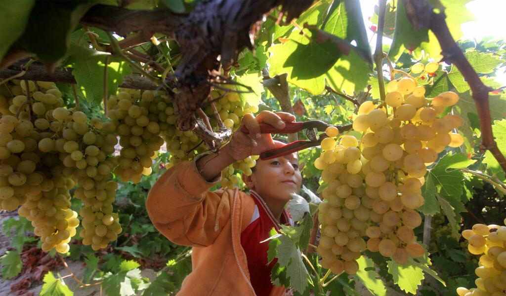 Ркацители - наиболее распространенный сорт винограда в Грузии