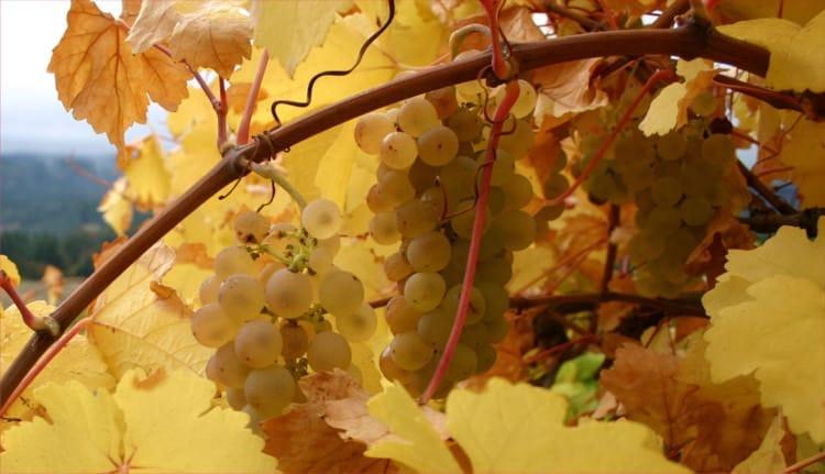 Ркацители - популярное белое грузинское вино