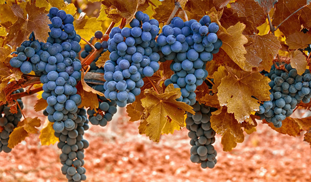 Саперави - ценнейший сорт винограда для изготовления грузинского вина