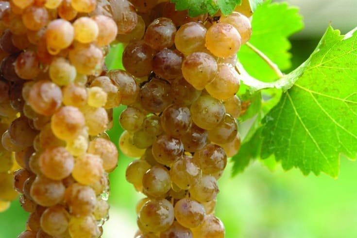 sort vinograda Colikauri