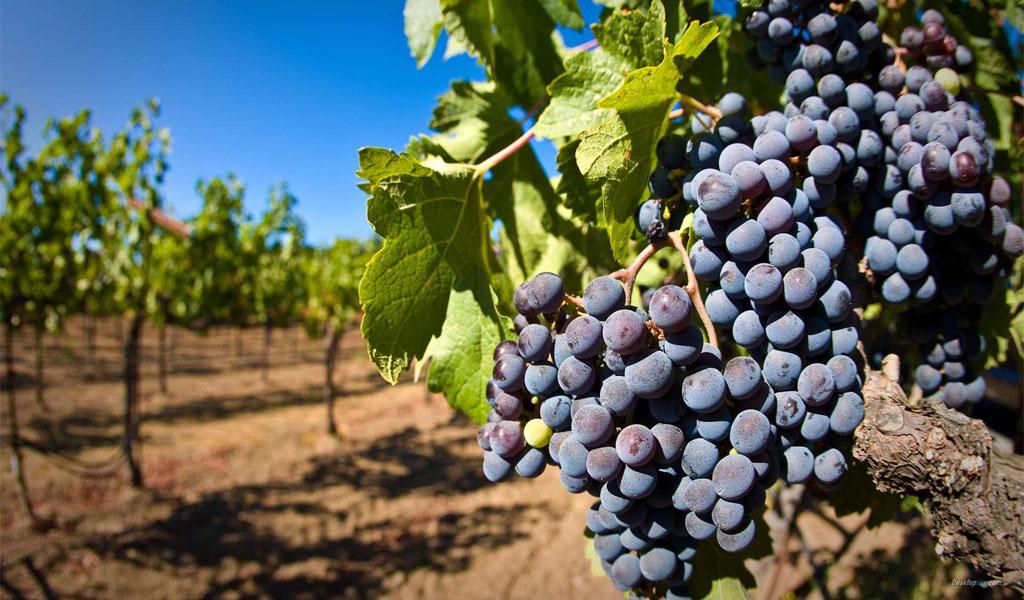 Вино листья винограда