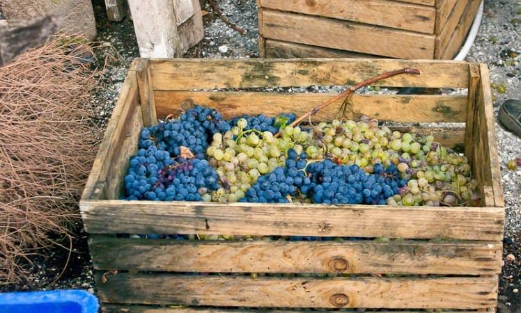 gruzinsky vinograd