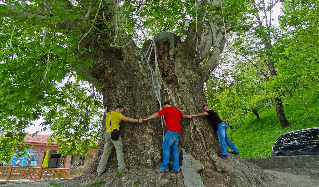 Платан в Телави - самое старое дерево в Грузии