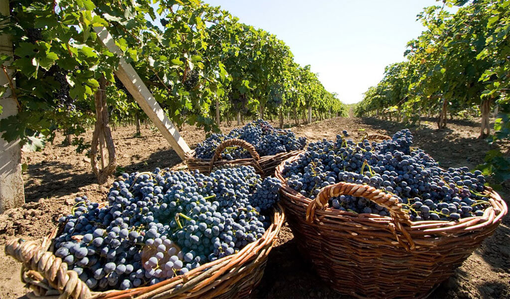 Ртвели - главный праздник виноградарей Грузии