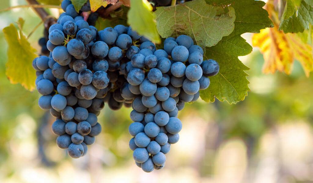 Дрожжи для чачи из винограда в домашних условиях